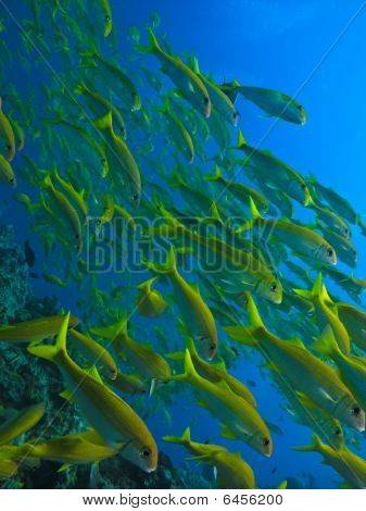 Yellow Tail Surgeon Fish At Great Barrier Reef Australia