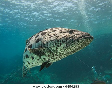Giant Potato Cod Sea Bass Floating By On The Great Barrier Reef Australia