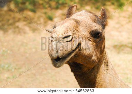 Asian Camel