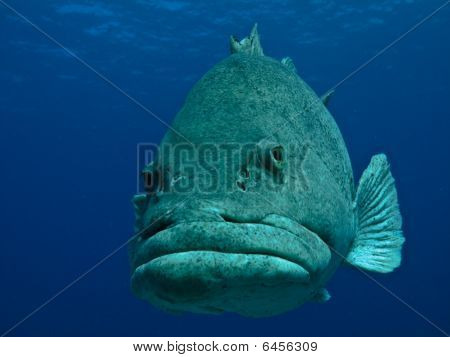 Giant Potato Fish Undersea On Great Barrier Reef Australia