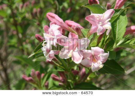 Bush Honeysuckle In Spring