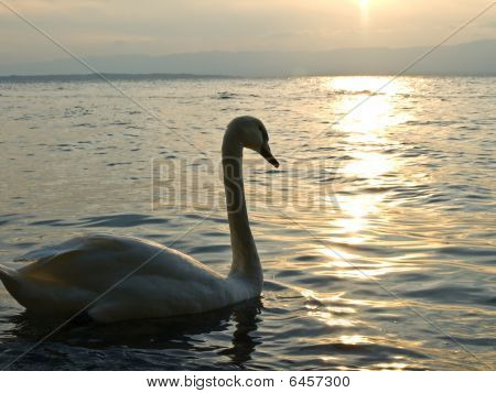Swimming swan on the lake water on sunset poster