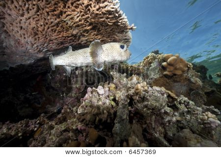Porcupinefish And Coral