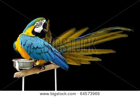 A beautiful macaw etching its feather