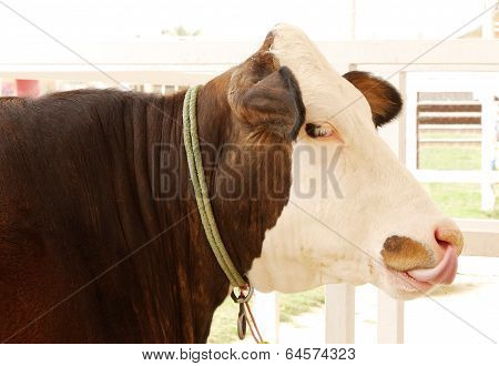 Closeup of a Holstein cow