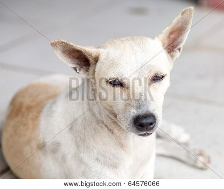 Stray Cream And Brown Mongrel Dog Resting On Tiles