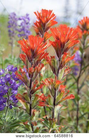 Red Indian Paintbrush Wildflowers Closeup