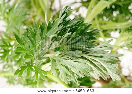 Wormwood (artemisia Absinthium L.) On White