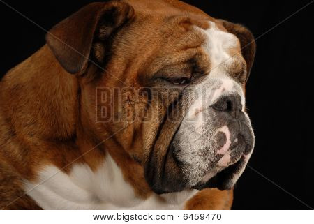 red brindle english bulldog with sad looking expression on black background poster