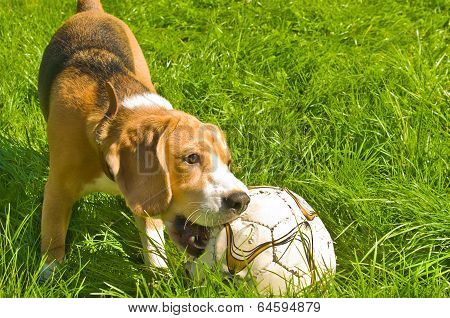 Beagle dog playing ball