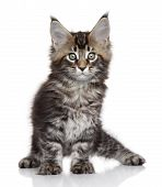 Maine Coon kitten. Portrait on a white background poster