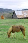 Horse pony eating grass in barn yard. poster