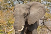 Front view of elephant in alert in Chobe national park poster