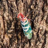 lanternfly (lantern bugs) on tree close up poster