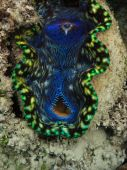Giant Clam Tridacna Maxima Great Barrier Reef Marine Park Australia poster