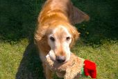 A Golden Retriever ready to play fetch. poster