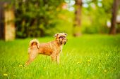 adorable brussels griffon puppy outdoors in summer poster