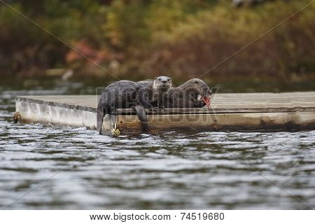 Pair of North American River Otters (Lontra canadensis) on a Dock - Haliburton Ontario poster