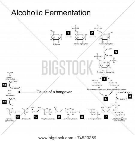 Chemical scheme of alcoholic fermentation metabolic pathway 2d illustration on white background; vector eps 8 poster