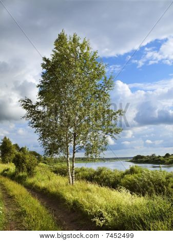 Birch On The River Coast