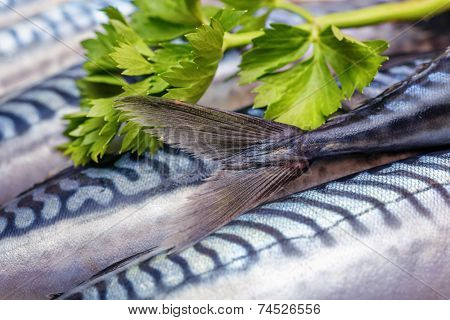 Fresh Fish Mackerels