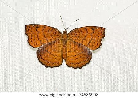 Close up of Angled Castor (Ariadne ariadne) butterfly clinging on softbox screen poster