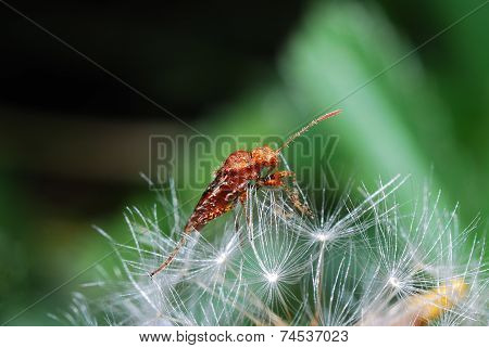 Beetle On Blowball