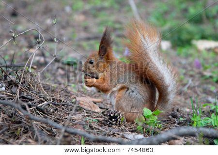 squerrel eating nut