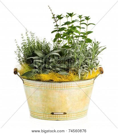 Fresh Look Herbs And Spices Plant On Washtub Pot