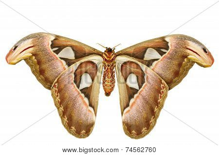 Female Attacus Atlas Moth