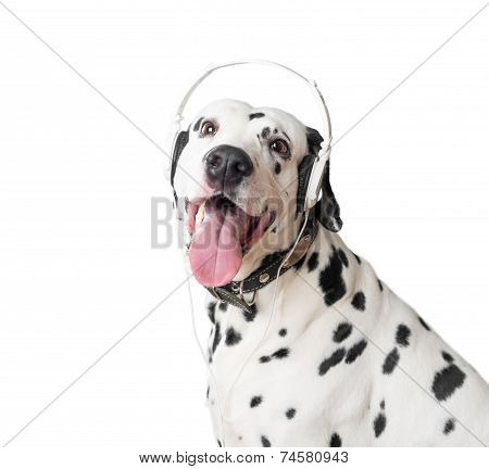 Dalmatian dog with open mouth headphones and leather collar with metal rivets. Dog looking into camera. Dog tongue and fangs visible. Headphones same black and white like dog. poster