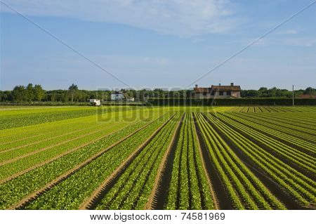 Crops are growing in the countryside of Italy