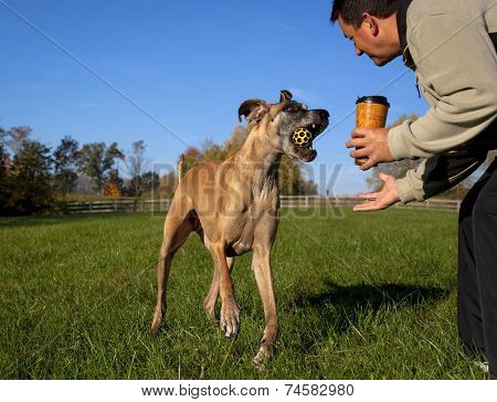 Great Dane returning yellow ball to man with coffee in field poster