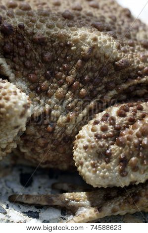 Skin surface of the toad