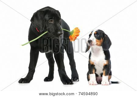 Romantic dog couple in  love. Isolated on white