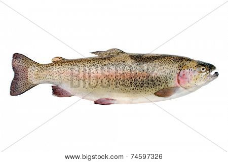 Rainbow trout isolated on a white background