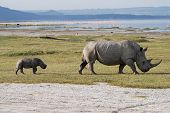 A young rhino follows its parent closely in Lake Nakuru national park poster