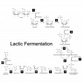 Chemical scheme of lactic fermentation metabolic pathway 2d illustration on white background; vector eps 8 poster