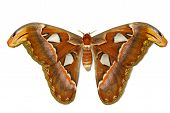 Female attacus atlas moth on white background poster