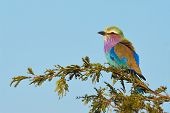 Lilac breasted roller perched on a branch of acacia in the Kruger National Park poster