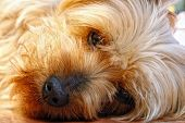 Closeup of the cute and trusting face of a Silky Terrier (breed related to Yorkshire Terrier or Yorkie) resting in sunlight and looking straight at the camera. poster