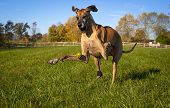 Silly great Dane attempting to catch yellow ball with eyes closed poster