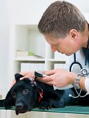 veterinarian doctor making a checkup of a puppy labrador retriever poster