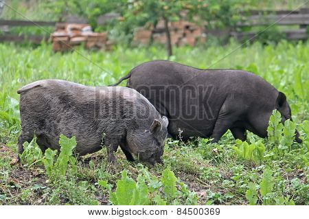 Two Pot-bellied pigs herbivores grazing in the meadow