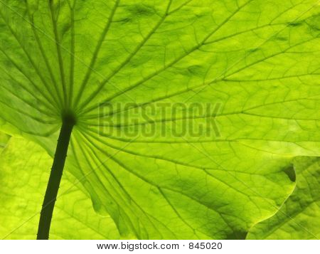 Big Green Lotus Leaf