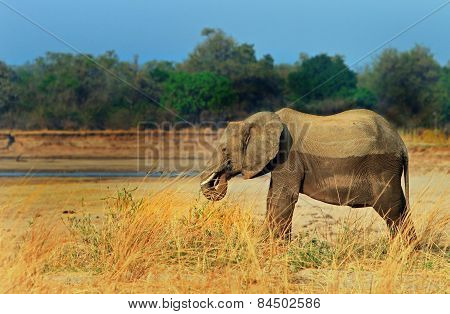 Isolated Elephant standing next to the Luangwa River