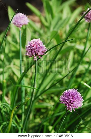 Flowers On Chive Plant