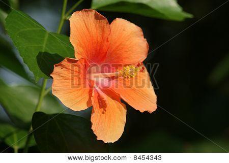 Orange hibiscus are blooming,