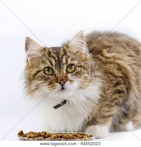 Cat - (Maine Coon) eats