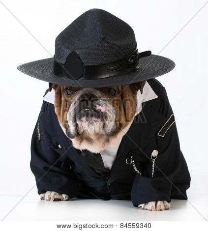 police officer or dog catcher - english bulldog wearing costume on white background